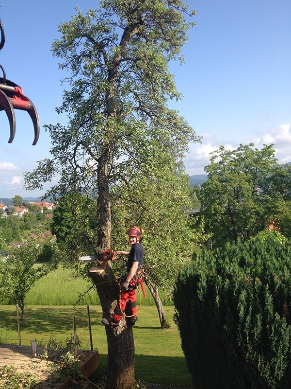 Baumfällung in einem Garten