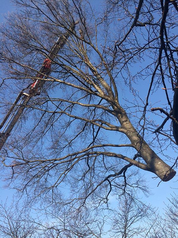 Fällung eines Baumes mit Hilfe von schweren Maschinen