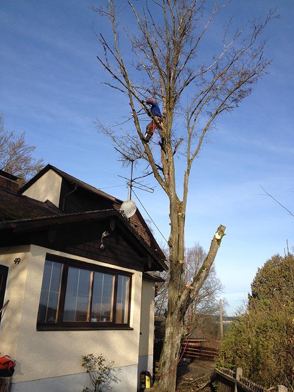 Fällung eines Baumes an einem Wohnhaus mit Holz Nigl