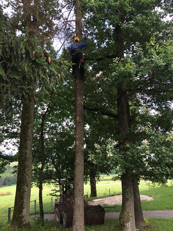 Fällung mehrer Bäume an einem Waldweg